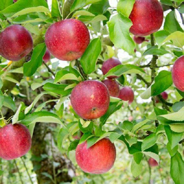 りんご園おすすめアップルパイセット